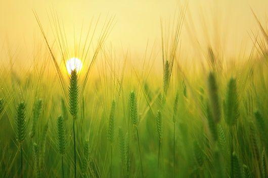 barley-field-1684052_1280-1-compressor.jpg